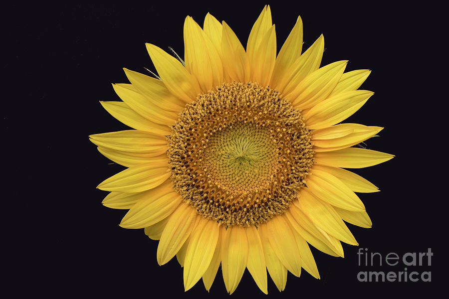 Sun Photograph - Sunflower by Ron Sadlier