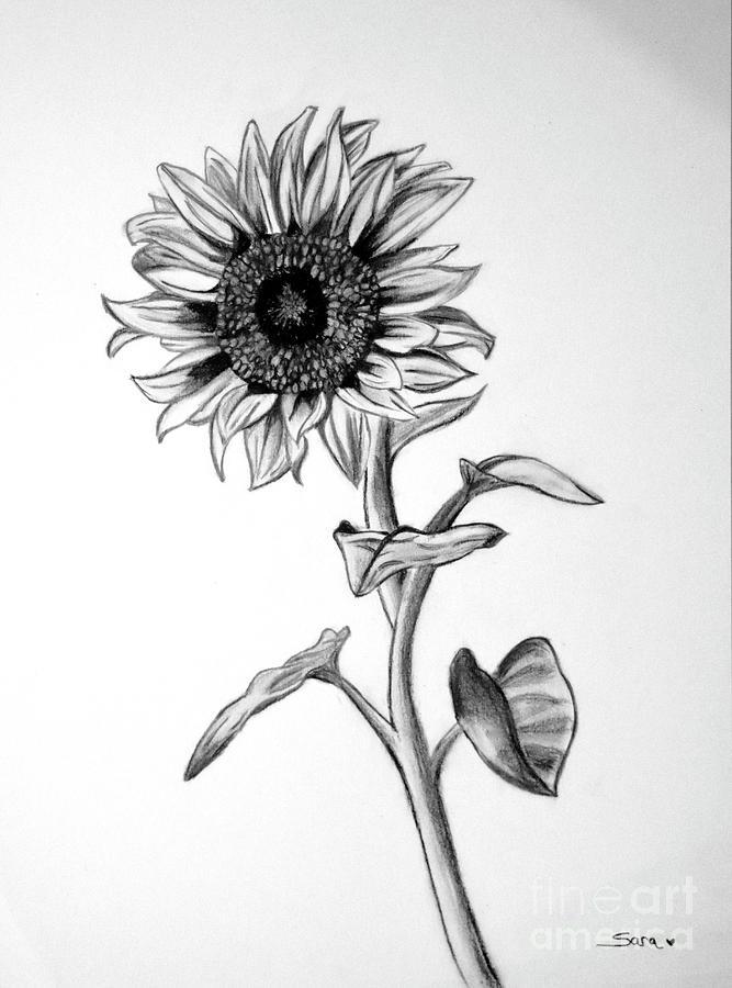 Sunflower Drawing By Sara Matthews