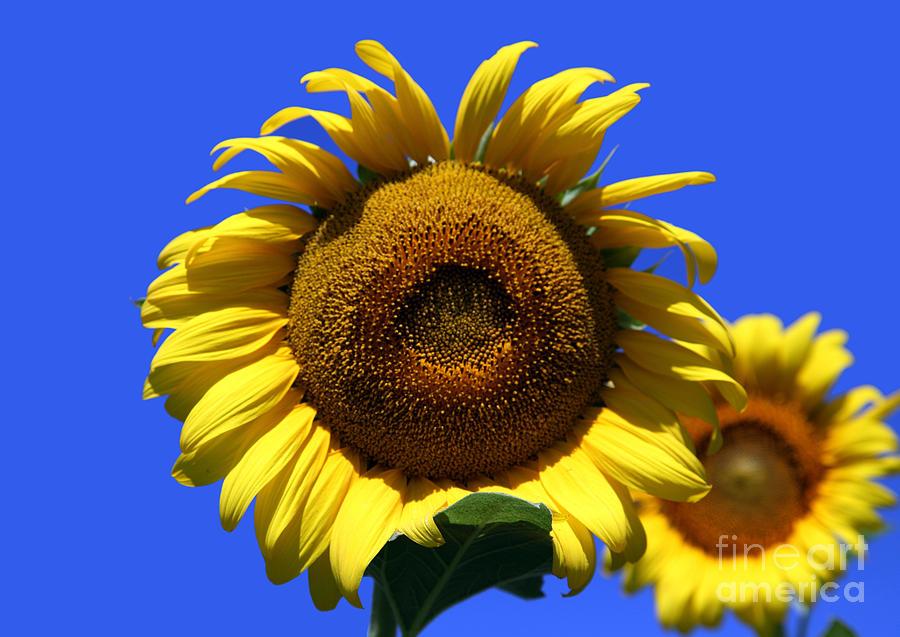 Sunflowers Photograph - Sunflower Series 09 by Amanda Barcon