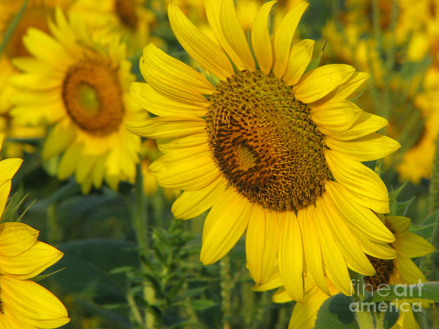 Sunflower Series Photograph