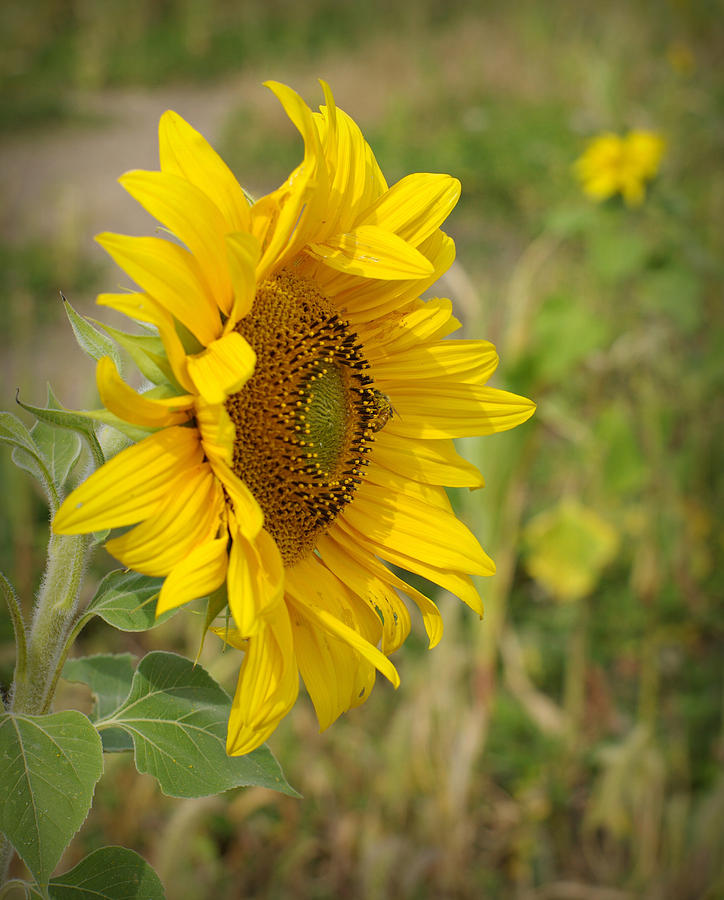 Sunflower Photograph - Sunflower Show Off by Linda Mishler