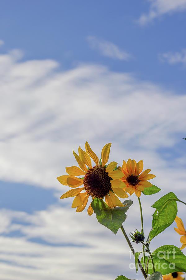 Sunflower Skies Photograph