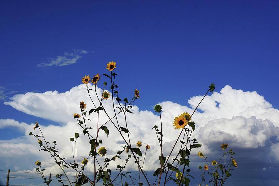Sunflower sky by Julie Carter