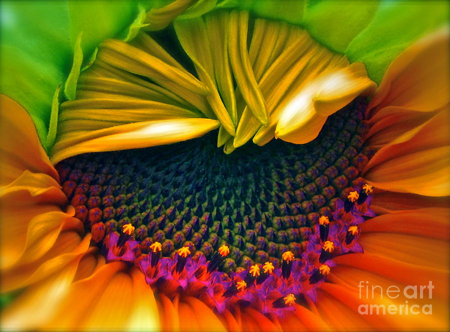 Sunflowers Photograph - Sunflower Smoothie by Gwyn Newcombe