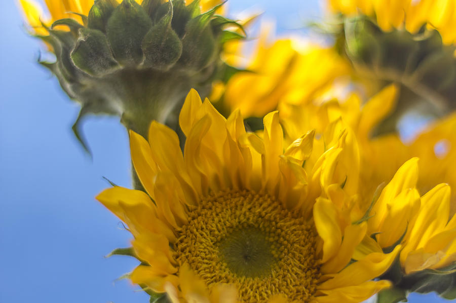 Sunflower Photograph - Sunflower Study 1 by Nathan Seavey