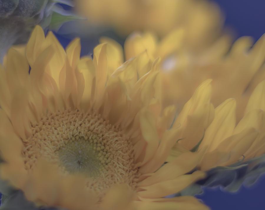 Sunflower Photograph - Sunflower Study 2 by Nathan Seavey