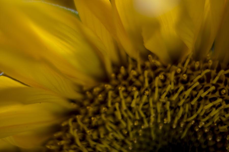 Sunflower Photograph - Sunflower study 6 by Nathan Seavey