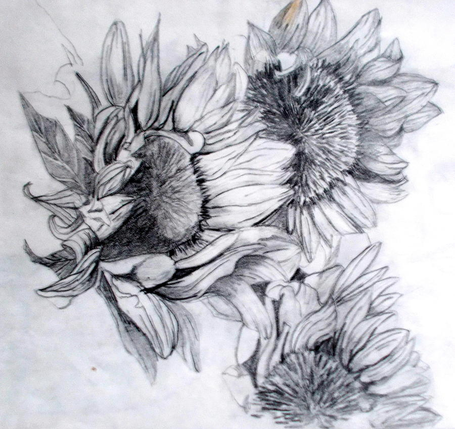 Sunflower Study Drawing By Nicole Curreri