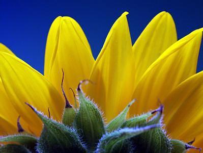 Sunflower Photograph - Sunflower Study by Scott Mahrer