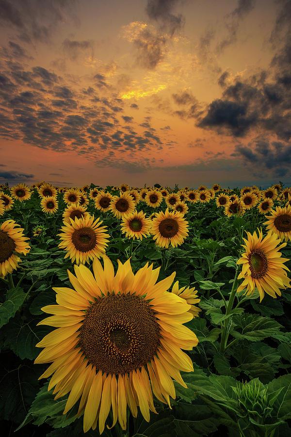 Sunflower Sunset Photograph By Aaron J Groen