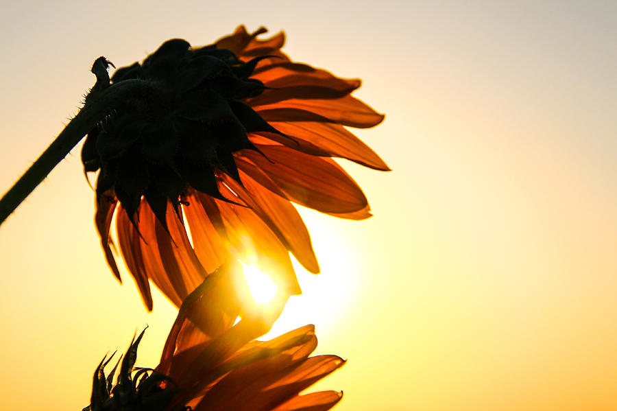 Sunflower Photograph - Sunflower Sunset by Amber Dopita