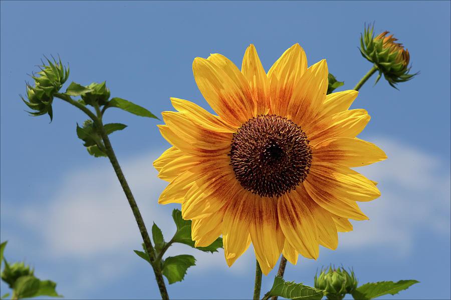 Sunflower Photograph - Sunflower Surprise by Robert Ullmann