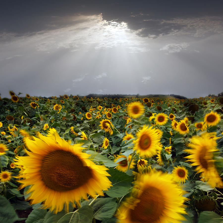 Sunflower Photograph - Sunflower Taking A Bow by Floriana Barbu