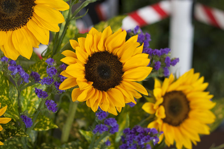 Sunflower Photograph - Sunflower Triplets by Kevin  Sherf