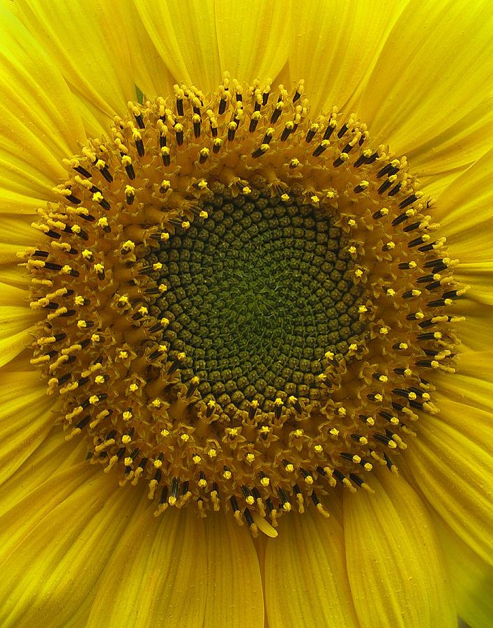 Macro Photograph - Sunflower by Vari Buendia