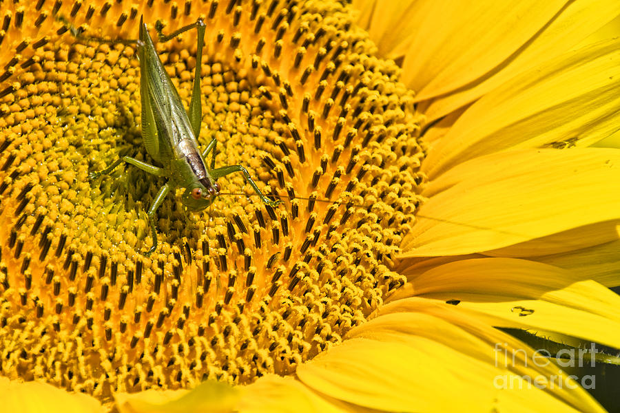 Sunflower Visitor by Crystal Nederman