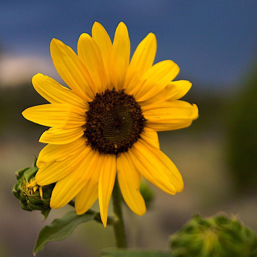 New Mexico Photograph - Sunflower by William Wetmore