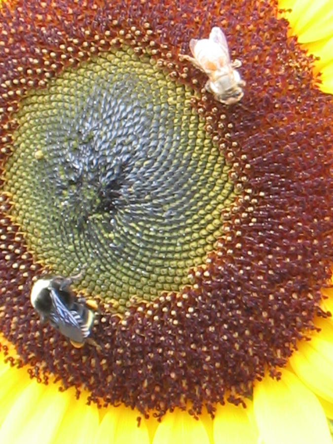 Botanical Photograph - Sunflower With Bees by K Hoover