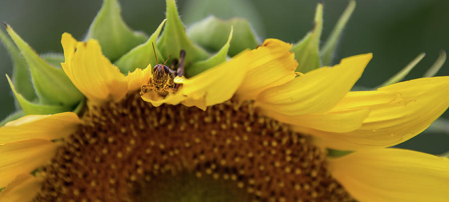 Cleveland Photograph - Sunflower with Grasshopper by Lindy Grasser