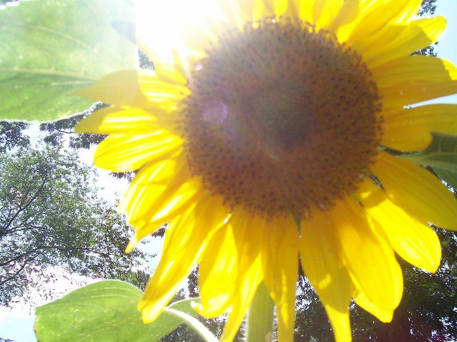 Sunflowers Photograph - Sunflower1 by Paula Ferguson