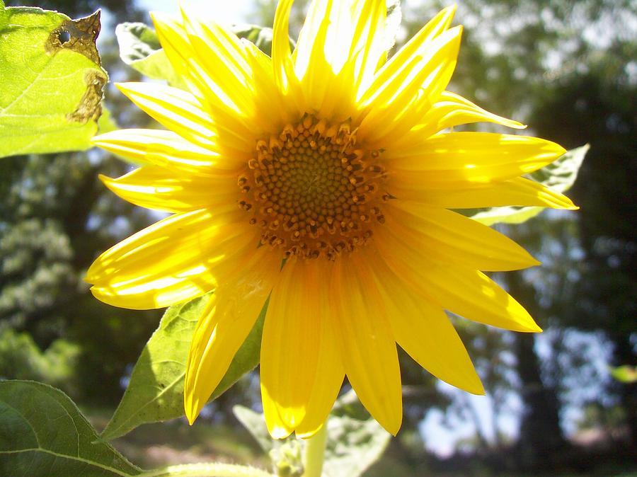 Sunflowers Pyrography - Sunflower4 by Paula Ferguson