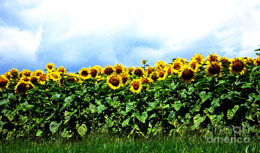 Sunflowers 2 Photograph