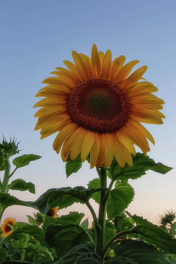Sunflowers Photograph - Sunflowers 4 by Heather Kenward