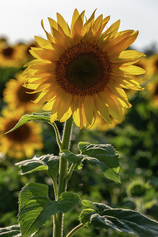 sunflowers 9 photograph by heather kenward