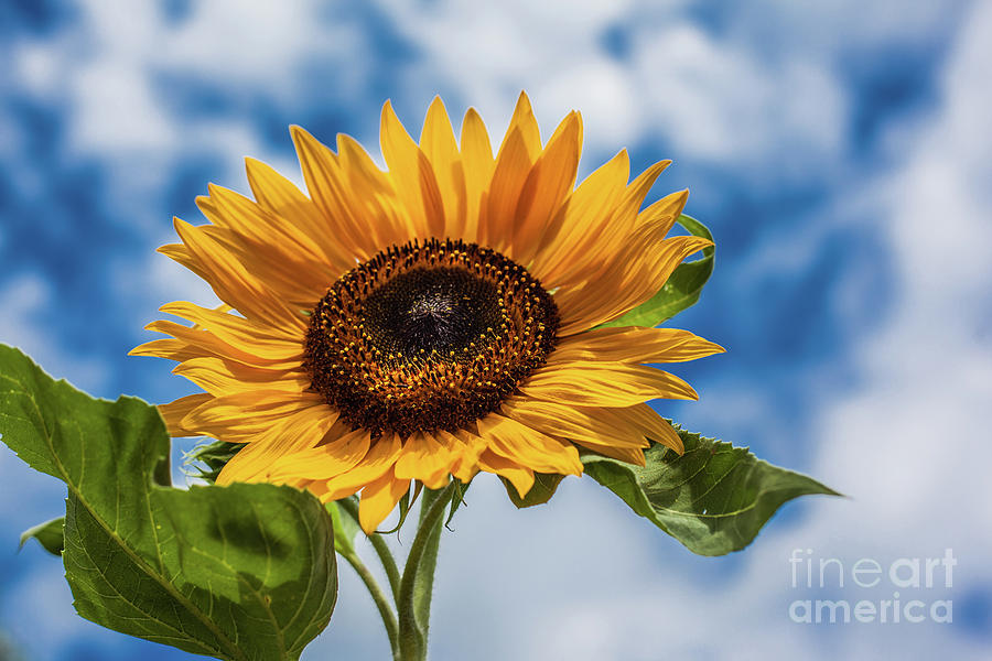 Sunflowers And Blue Sky Photograph