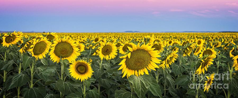 Sunrise Photograph - Sunflowers At Sunrise by Helen Woodford