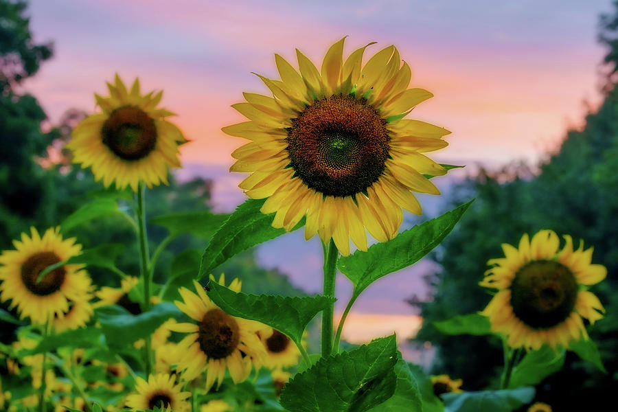 Maryland Photograph - Sunflowers At Sunset by Dave Lyons