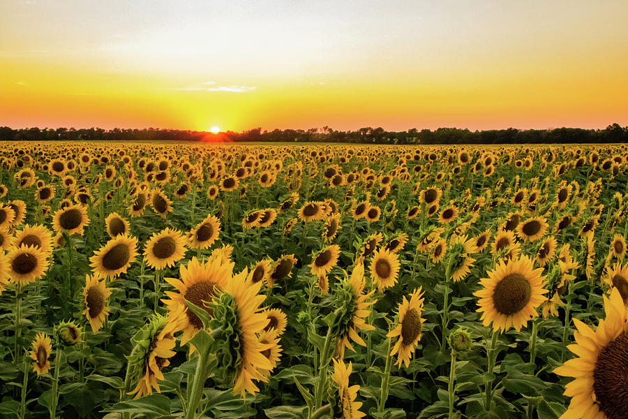 Sunflowers at Sunset by Jay Stockhaus