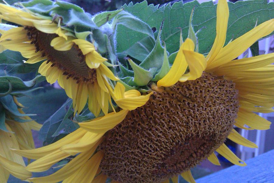Sunflowers Photograph - Sunflowers by B L Qualls