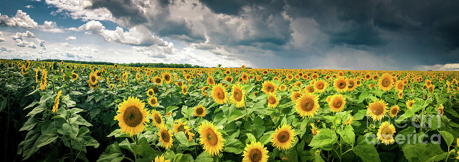 Sunflowers Before The Storm by Ever-Curious Geek