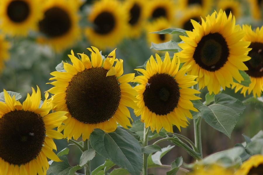 Sunflowers Photograph - Sunflowers by Beth Vasquez