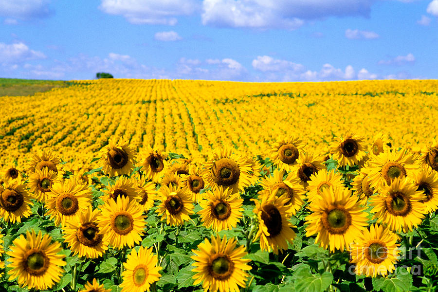 Flower Photograph - Sunflowers by Bill Bachmann and Photo Researchers