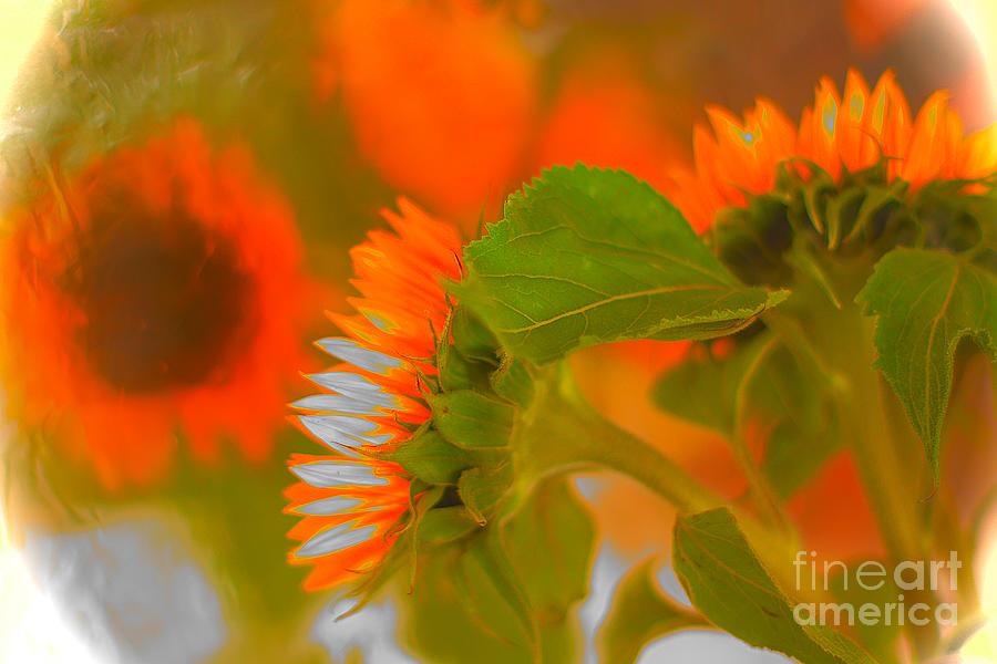Sunflowers. Photograph