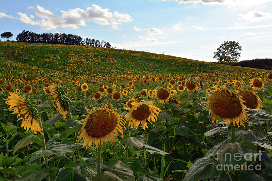 Sunflowers Photograph - Sunflowers Fields  by Frank Stallone