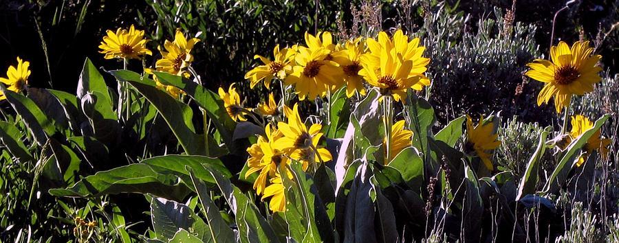 sunflowers FLO R 24 Photograph