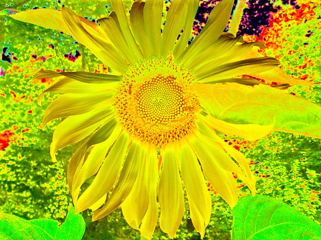 Sunflower Photograph - Sunflowers by Heidi Berkovitz