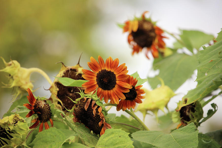 Sunflowers In Fall Photograph