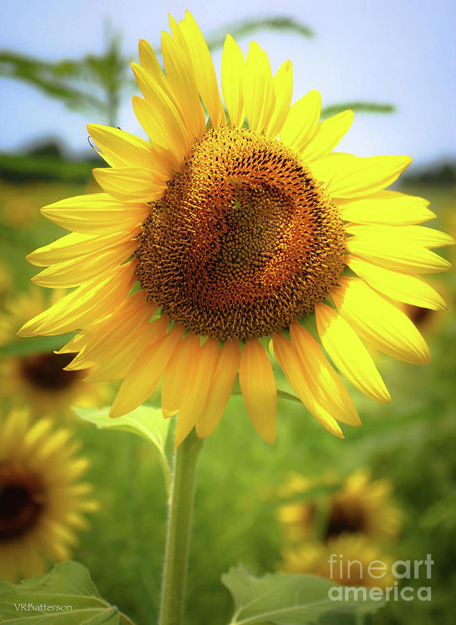 Sunflowers in Memphis II by Veronica Batterson