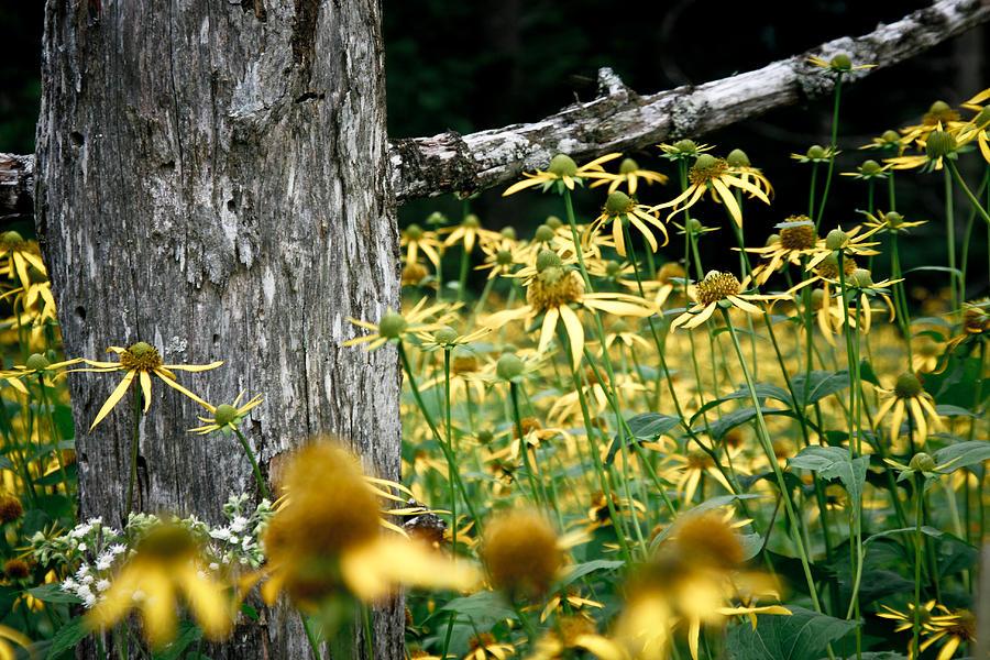 Sunflowers Photograph - Sunflowers In North Carolina 2 by Jonathan Hansen