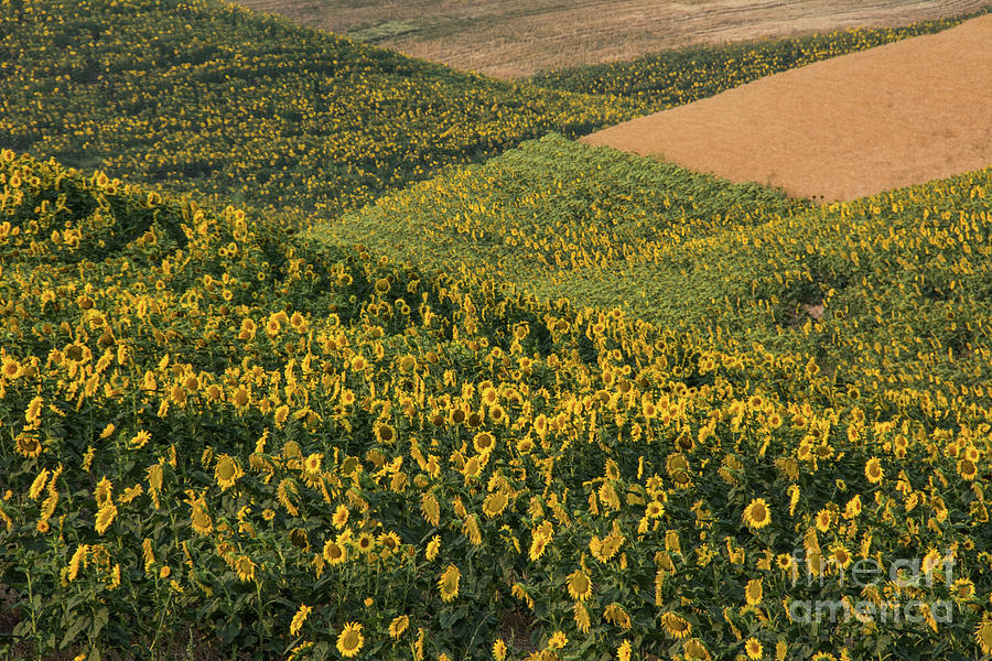 Sunflowers Photograph - Sunflowers In The Palouse by John Greco