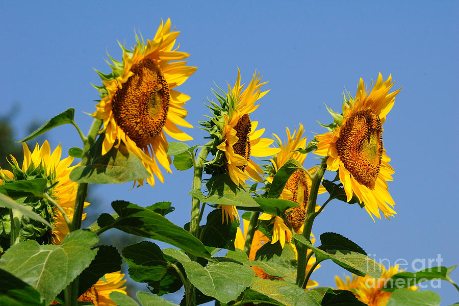 Sunflowers Photograph - Sunflowers Looking East by Edward Sobuta