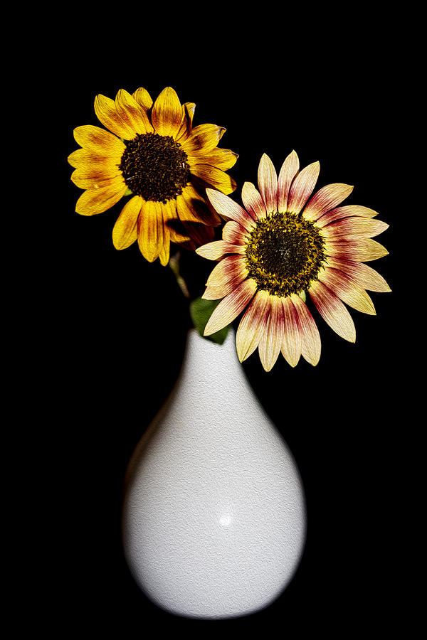 Sunflowers On Black Background And In White Vase Photograph By