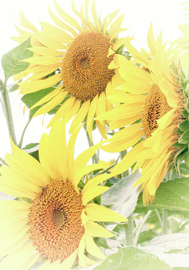 Sunflowers by Pam  Holdsworth