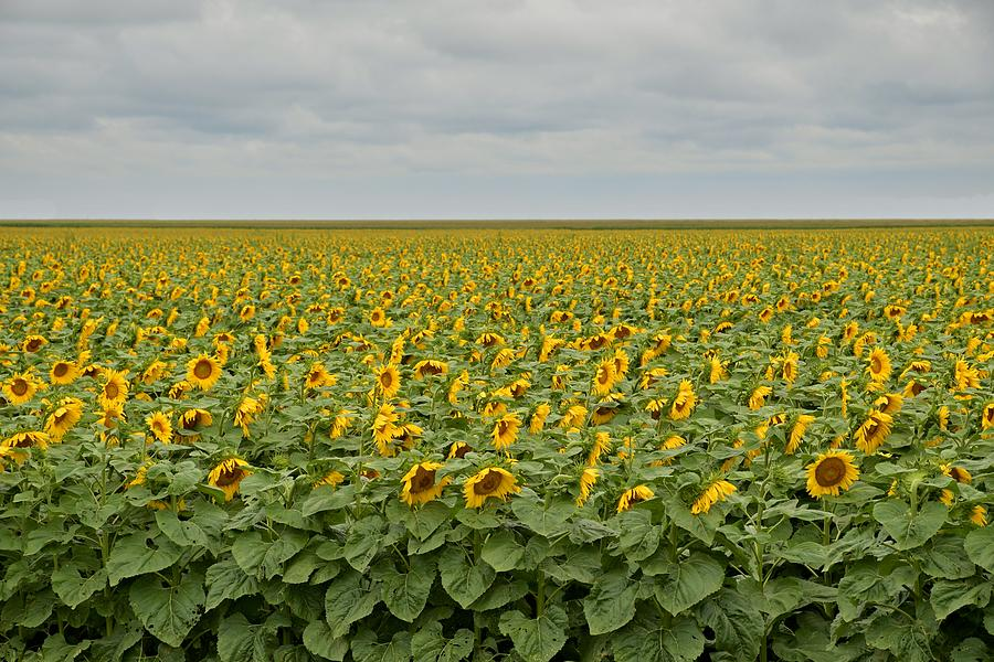 Sunflowers by Steven Liveoak