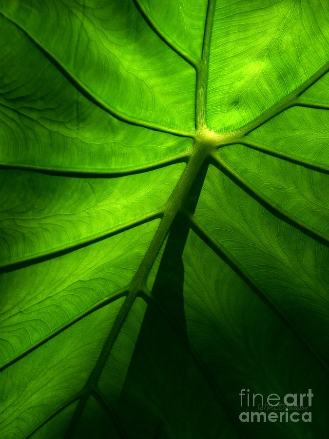 Green Photograph - Sunglow Green Leaf by Patricia L Davidson