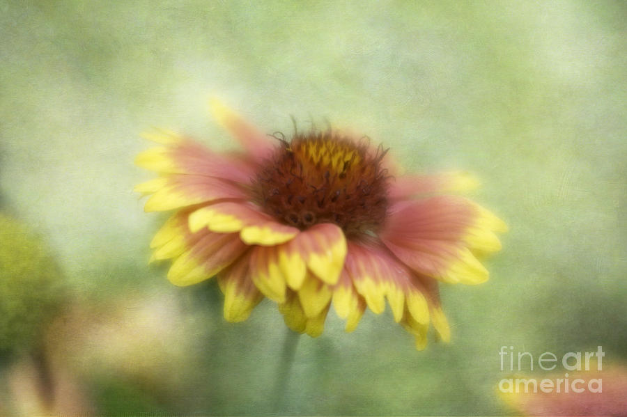 Flowers Photograph - Sunkissed by Cindy McDonald